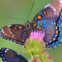 bigstock-Redspotted-Purple-Butterflies-1133118FI